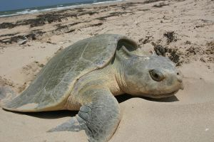 A Ridley sea turtle laying her eyes on a Texas Gulf Coast beach. -- National Park Service photo.