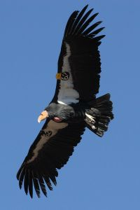 And I can write about my experience of seeing California condors flying free  over Zion National Park, and all the times I wrote about them when I was a reporter. -- Wikimedia phoot by Phil Armitage.