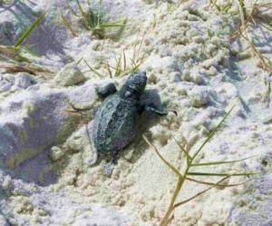 A just hatched sea turtle ready to battle its way to the ocean. -- U.S. Fish and Wildlife photo