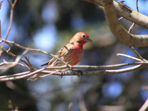 A male house finch sitting on the tree limb  next to my third-floor balcony. -- Photo by Pat Bean