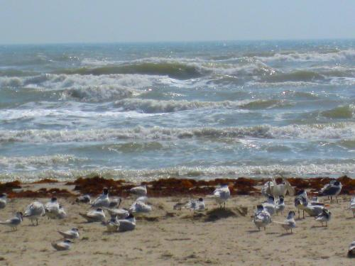 Laughing gulls on Mustang Island on the Texas Gulf Coast, not too far from where Ridley sea turtles have nested. -- Photo by Pat Bean