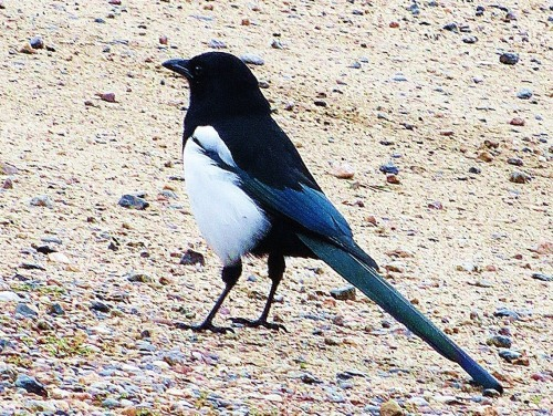 The story of how the magpie became my animal totem would make a good first chapter  for my bird book. -- Photo by Pat Bean