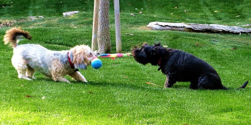 That's my canine companion Pepper on the right playing tug of war with her best forever girlfriend Dusty. -- Photo by Pat Bean