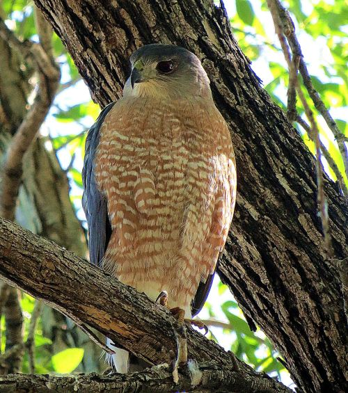 I'm grateful that this Cooper's hawk didn't fly off before I could take this photo. -- Photo by Pat Bean