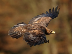 Golden eagle -- Wikimedia photo by Martin_Mecnarowski