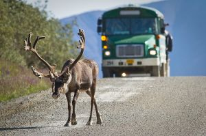 Wildlife, like this caribou, slowed traffic, but what a joy to see. I especially enjoyed it when a moose blocked our way. == Wikimedia photo