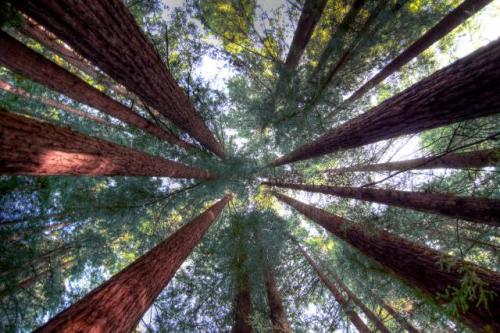Looking up through the redwoods. -- Photo by scrubhiker/flickr/cc