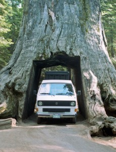 Sequoria Tunnel Tree