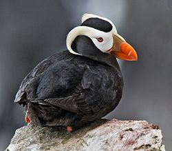 A tufted puffin. Isn't it cute? -- Wikimedia photo