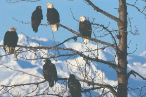 Bald Eagles near Haines ... Wikimedia photo