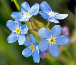 Forget-me-not, up close and personal