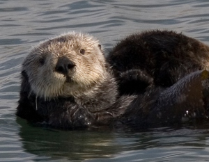 I can't think of too many animals cuter than a sea otter. Can you? And seeing them in the wild was as good as it gets. -- Wikimedia photo.