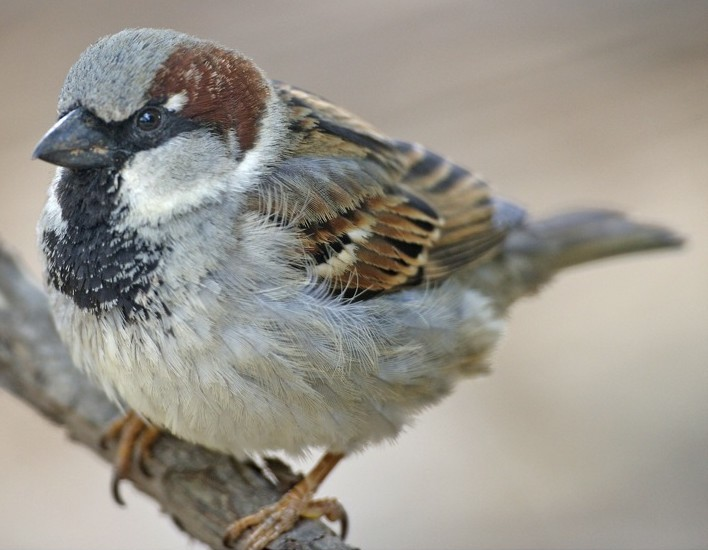 Male House Sparrow in breeding colors -- Wikimedia photo
